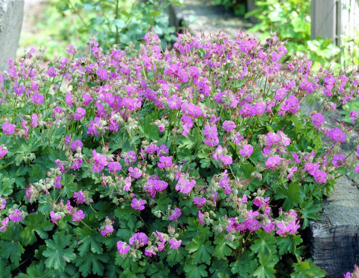 ooievaarsbek plant