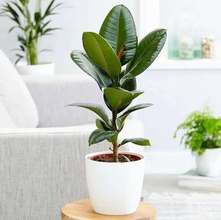 rubberboom woonkamerplant